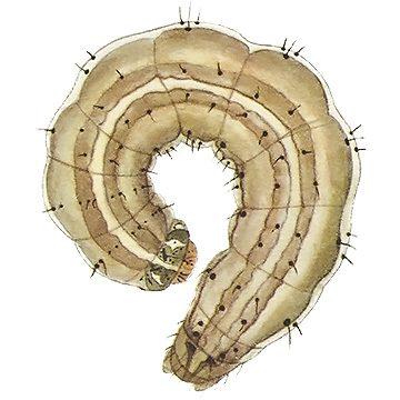 Совка зерновая обыкновенная - Личинка. Использовано изображение:[13]