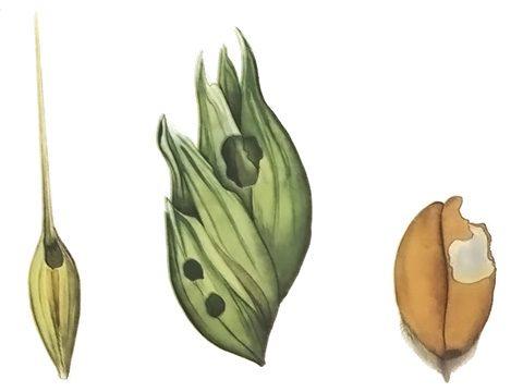 Совка зерновая обыкновенная - Повреждения. Использовано изображение:[13]