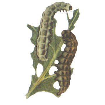Совка клеверная - Личинка. Использовано изображение:
