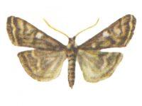 Мотылек луговой