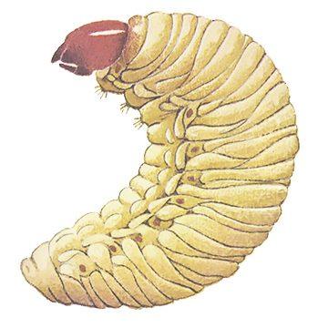 Долгоносик большой сосновый - Личинка. Использовано изображение:
