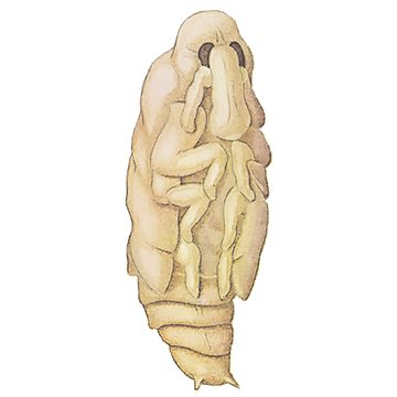 Долгоносик большой сосновый - Куколка. Использовано изображение: