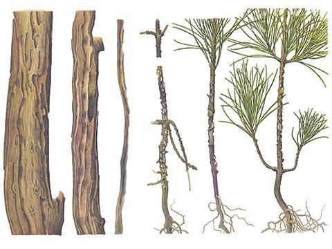 Долгоносик большой сосновый - Повреждения. Использовано изображение: