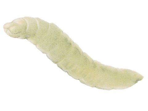 Галлица гороховая - Личинка. Использовано изображение:
