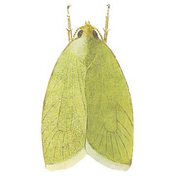 Листовертка зеленая дубовая - Имаго. Использовано изображение: