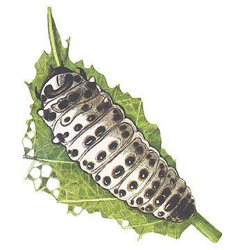 Листоед осиновый - Взрослая личинка. Использовано изображение: