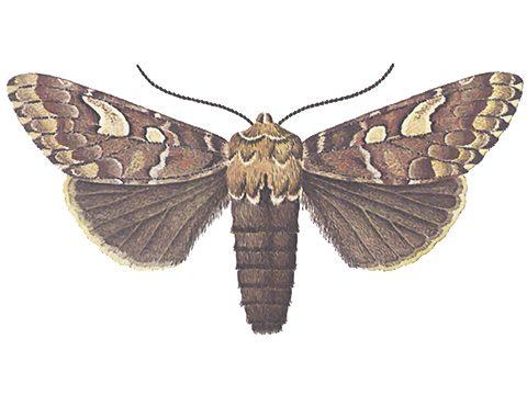 Совка сосновая - Имаго, самка. Использовано изображение: