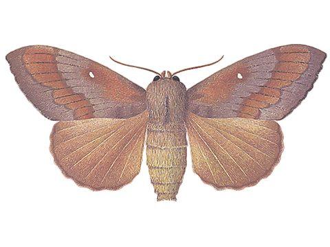 Шелкопряд сосновый - Имаго, самец. Использовано изображение:
