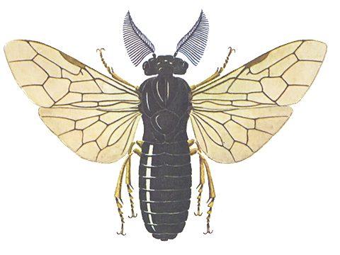 Пилильщик обыкновенный сосновый - Имаго, самка. Использовано изображение: