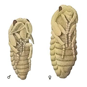 Пилильщик обыкновенный сосновый - Куколка самца (слева) и куколка самки (справа) Использовано изображение: