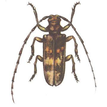 Усач сосновый черный - Имаго, самка. Использовано изображение: