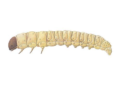 Листовертка еловая шишковая - Личинка. Использовано изображение: