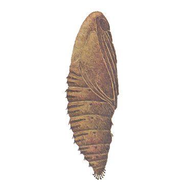 Листовертка еловая шишковая - Куколка. Использовано изображение: