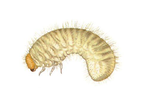 Притворяшка горбатый обыкновенный - Личинка. Использовано изображение:
