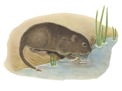 Полевка (крыса) водяная
