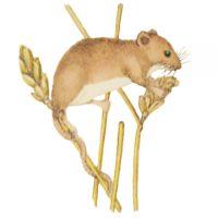 Мышь-малютка