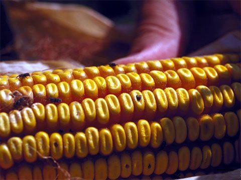Долгоносик амбарный кукурузный - Поврежденный початок. Использовано изображение:[10]