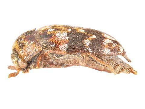 Трогодерма пестроцветная - Имаго, латерально. Использовано изображение:[10]