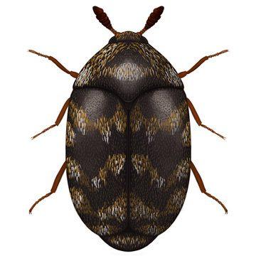 Кожееды - Трогодерма черная