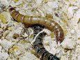Хрущак большой мучной - Личинка в зернопродуктах. Использовано изображение:[19]