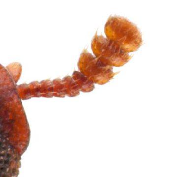 Хрущак булавоусый - Булава. Использовано изображение:[13]