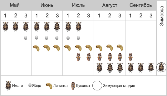 Зерновка гороховая - Фенология