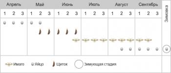 Щитовка яблонная запятовидная - Фенология