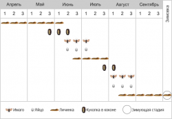Пилильщик вишневый слизистый - Фенология