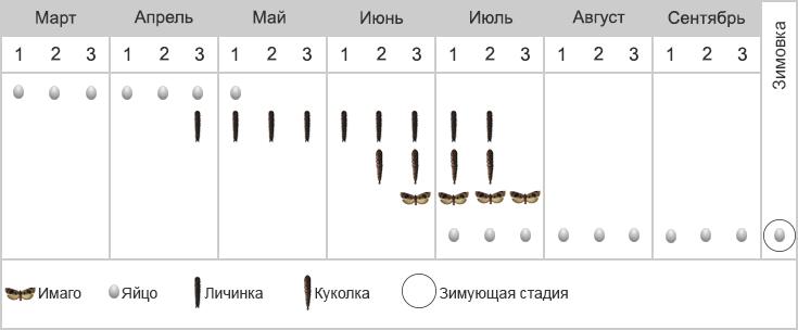Листовертка-толстушка боярышниковая - Фенология