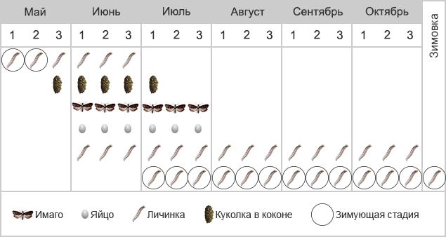 Плодожорка грушевая - Фенология