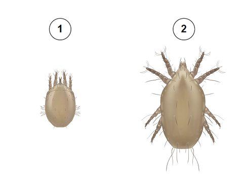 Клещ Родионова - Фазы развития: 1 - активный гипопус; 2 - имаго (взрослый клещ). Использовано изображение:[10]