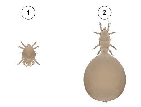 Клещ пузатый - 1 - самец, 2 - самка. Использовано изображение: