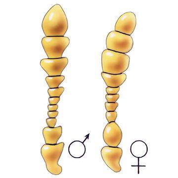 Жук капровый - Усики самца и самки. Использовано изображение:[16]