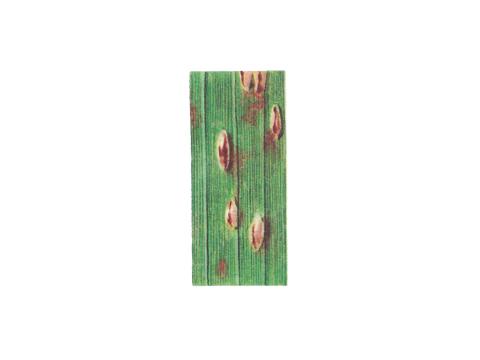 Ржавчина кукурузы - Деталь листа с уредопустулами
