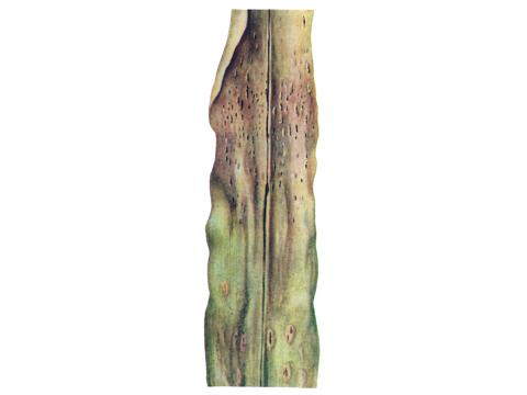 Ржавчина кукурузы - Телейтопустулы на листе кукурузы