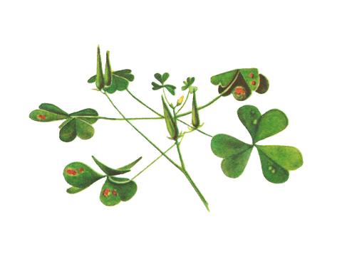 Ржавчина кукурузы - Эцидии на листьях прямой кислицы