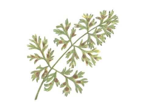 Гниль черная сельдерейных (зонтичных) культур - Пораженный лист моркови