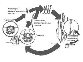 Септориоз листьев пшеницы - Цикл развития S. tririci