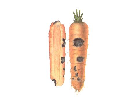 Фомоз моркови - Пораженные корнеплоды