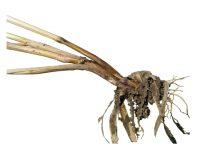 Гниль корневая фузариозная злаковых культур