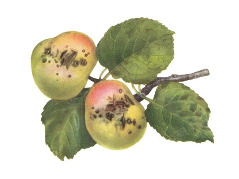 Парша яблони - Пораженные плоды и листья