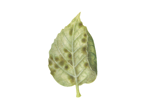 Парша яблони - Пораженный лист снизу