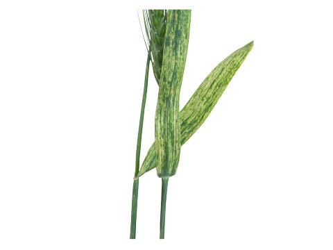 Вирус полосатой мозаики пшеницы