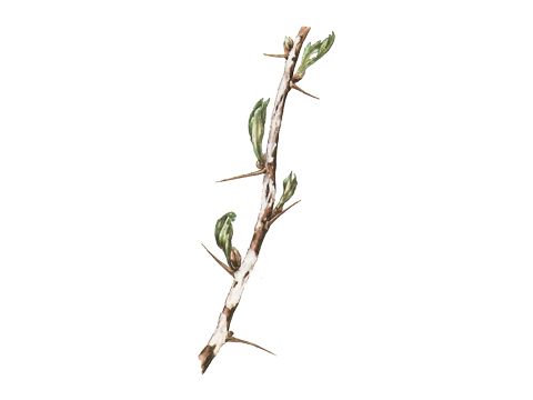 Роса мучнистая крыжовника и смородины - Пораженный побег