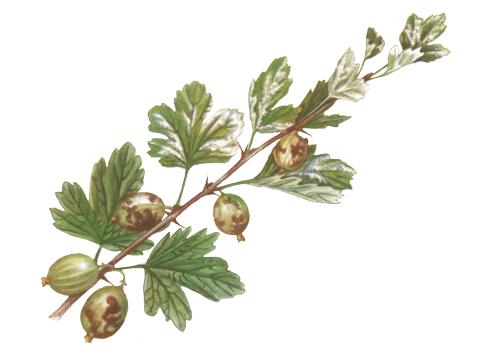 Роса мучнистая крыжовника и смородины - Пораженные листья и ягоды