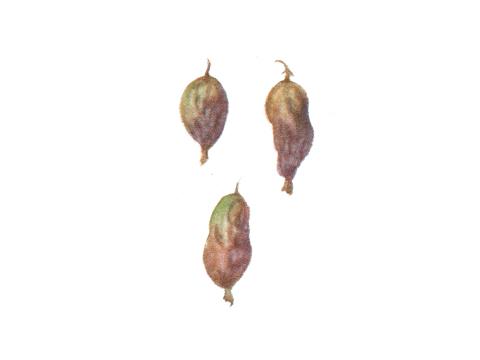 Роса мучнистая крыжовника и смородины - Пораженные ягоды