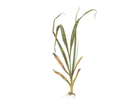 Роса мучнистая на зерновых культурах - Пораженное растение пшеницы