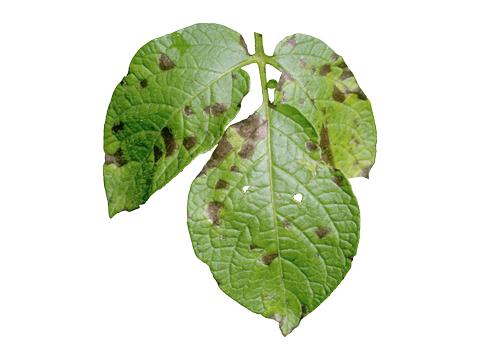 Альтернариоз картофеля - Общий вид пораженного листа.