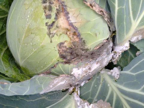 Гниль белая капусты - Пораженные листья.[10]