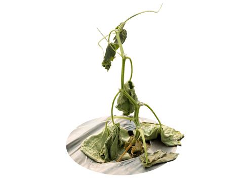 Гниль корневая и прикорневая стеблей огурца